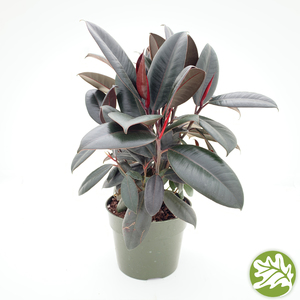 "FICUS Robusta Burgundy 6""pot"